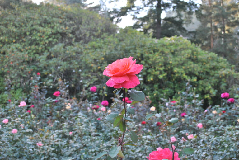 The International Rose Test Garden in Portland, Ore., was one of the most beautiful places I've ever been in my life.